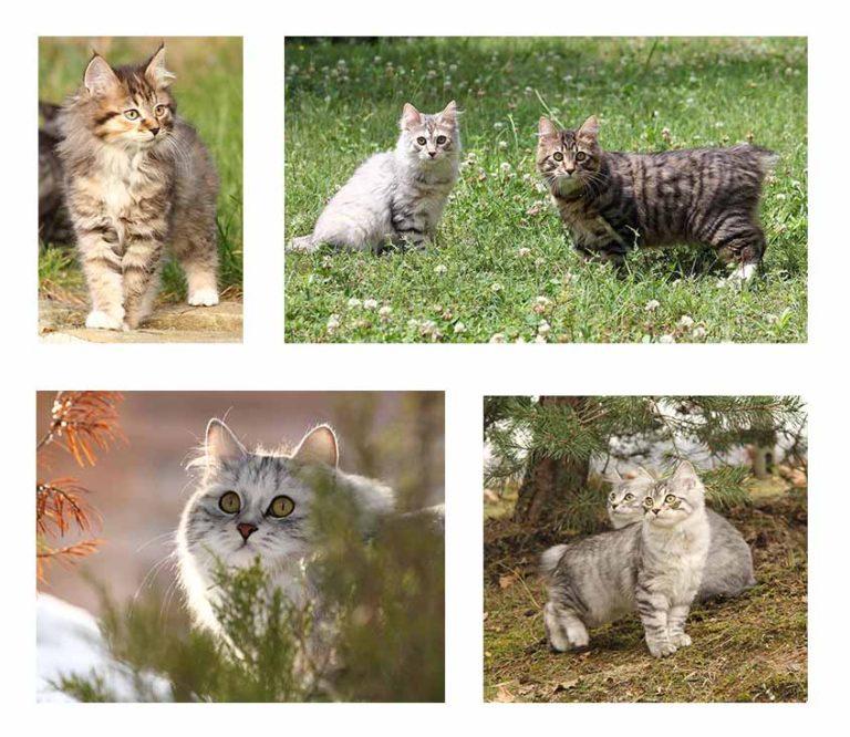 foto di gatti e gattini Kurilian Bobtail