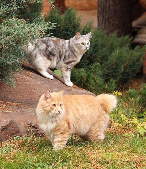 Gatti di razza Kurilian Bobtail