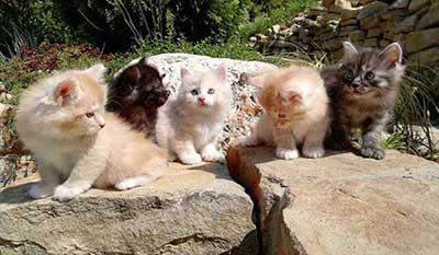gattini disponibili di razza Kurilian Bobtail